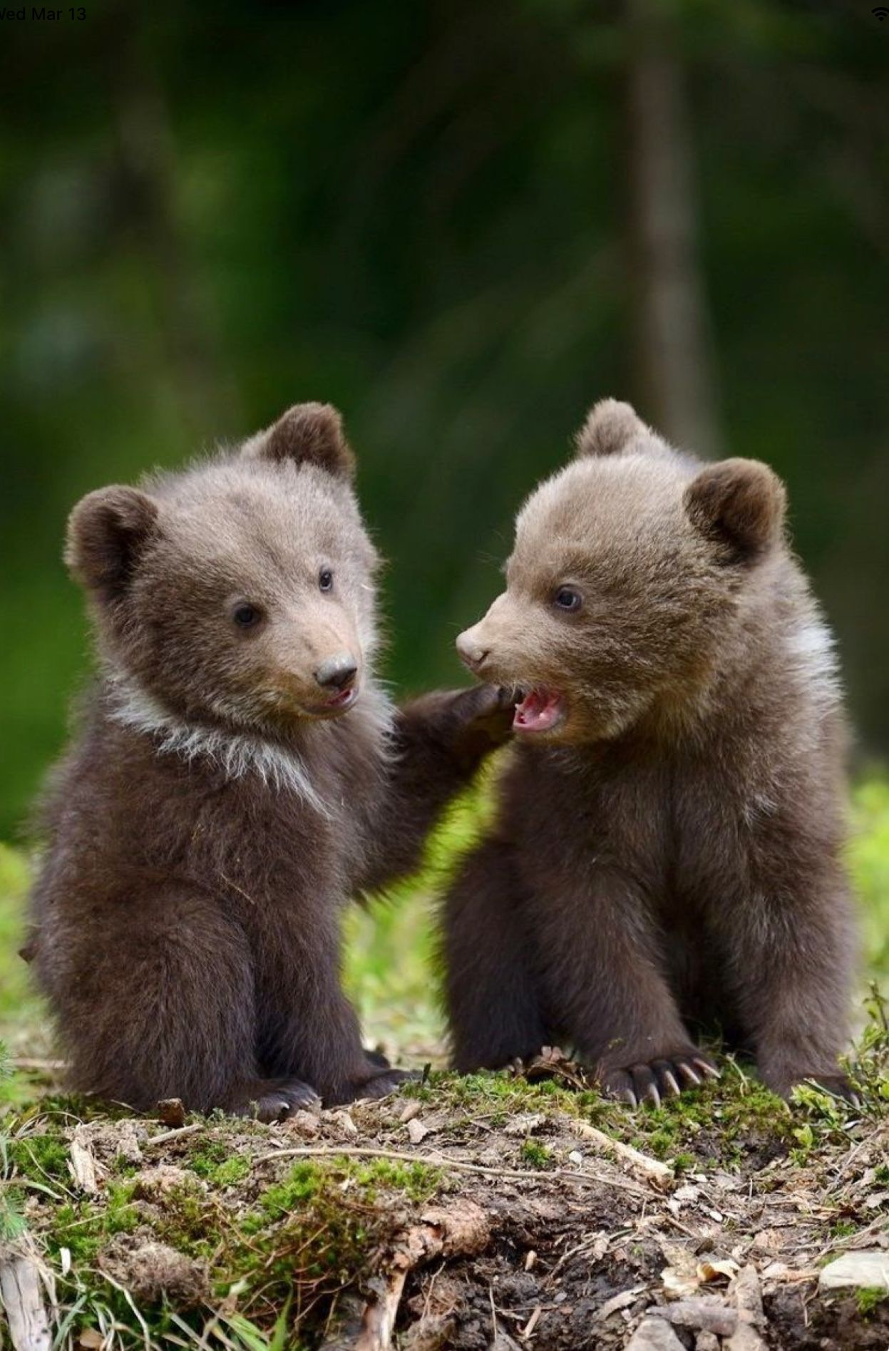 Two cute grizzly bear cubs in a playful mood. | Baby animals, Cute animals,  Animals wild