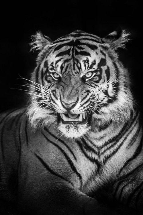 Too Close By Justin Lo Animals Animales Tigre Siberiano Et