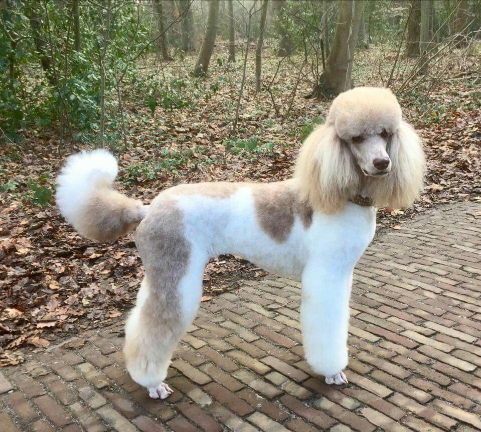 15 Poodles With Better Hairstyles Than You