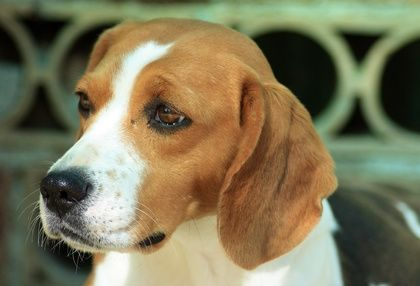 Activities For Shiloh By Phyllis Reynolds Naylor Beagle