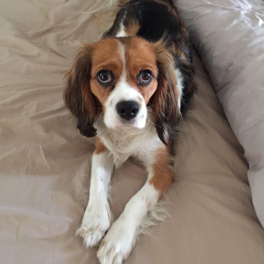 Beaglier Beagle Cavalier King Charles Spaniel Mix King Charles Dog Beagle Dog Dogs