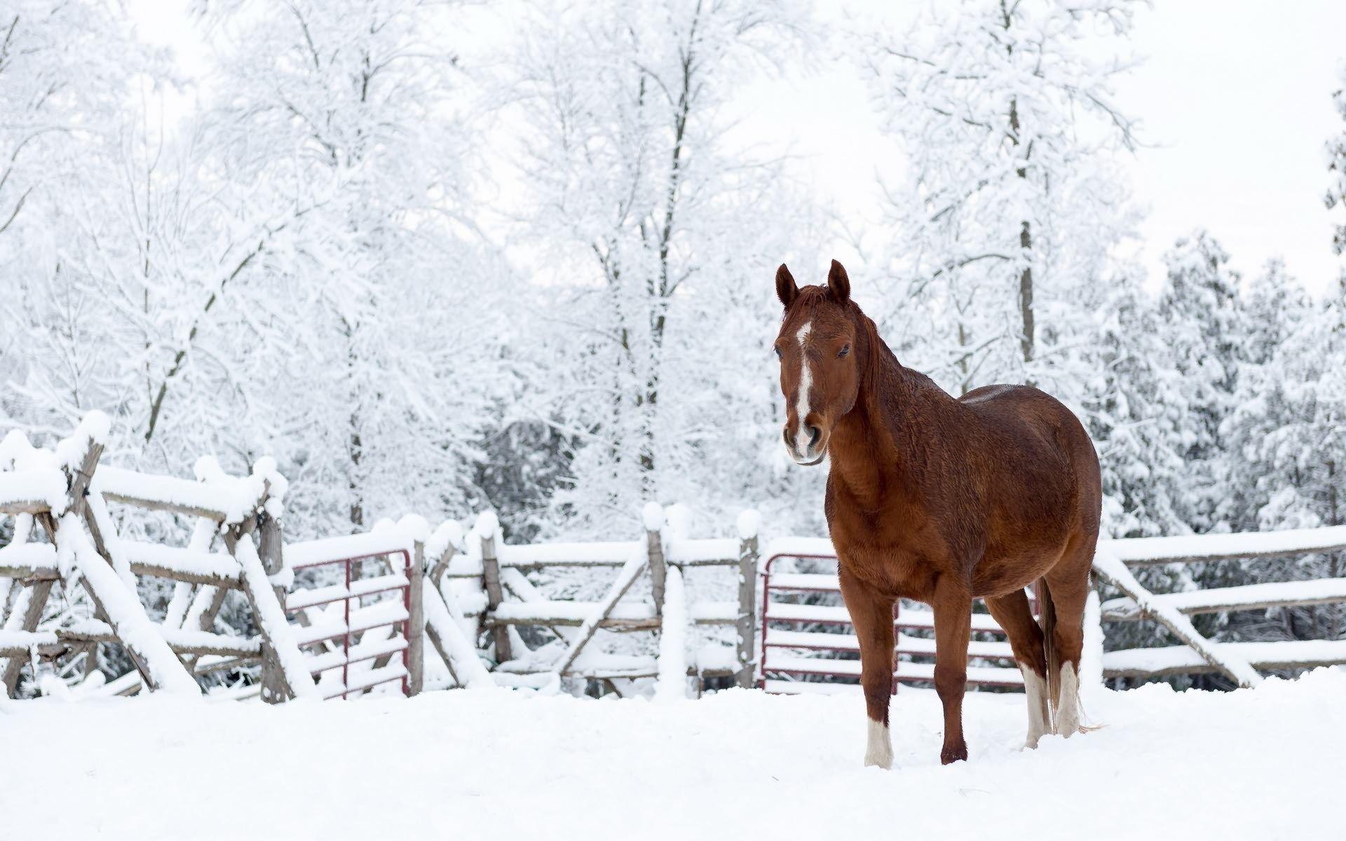 1919555 Horse Category Free Desktop Wallpaper Downloads Horse Horses In Snow Horses Winter Wallpaper