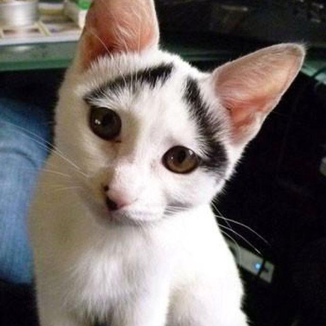 Eyebrow kitty