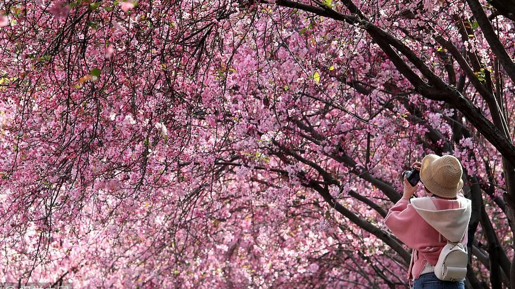 Cherry Blossoms Bloom In Sw China China City Spring City Cherry Blossom Festival