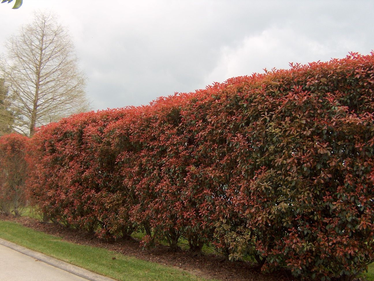 Awesome red leaf photinia hedge an evergreen broadleaf for Large bushes for landscaping