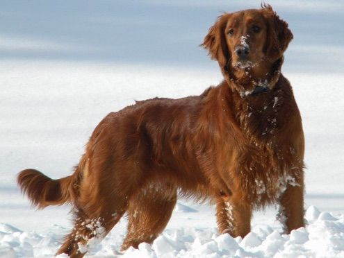 Red Retriever Org Sweet Liberty Kennels We Presently Have Ukci