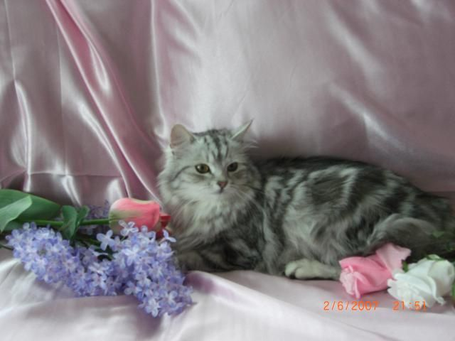 Hypoallergenic Cats For Sale Siberian Cat Hypoallergenic Breeds Siberian Cat Hypoallergenic