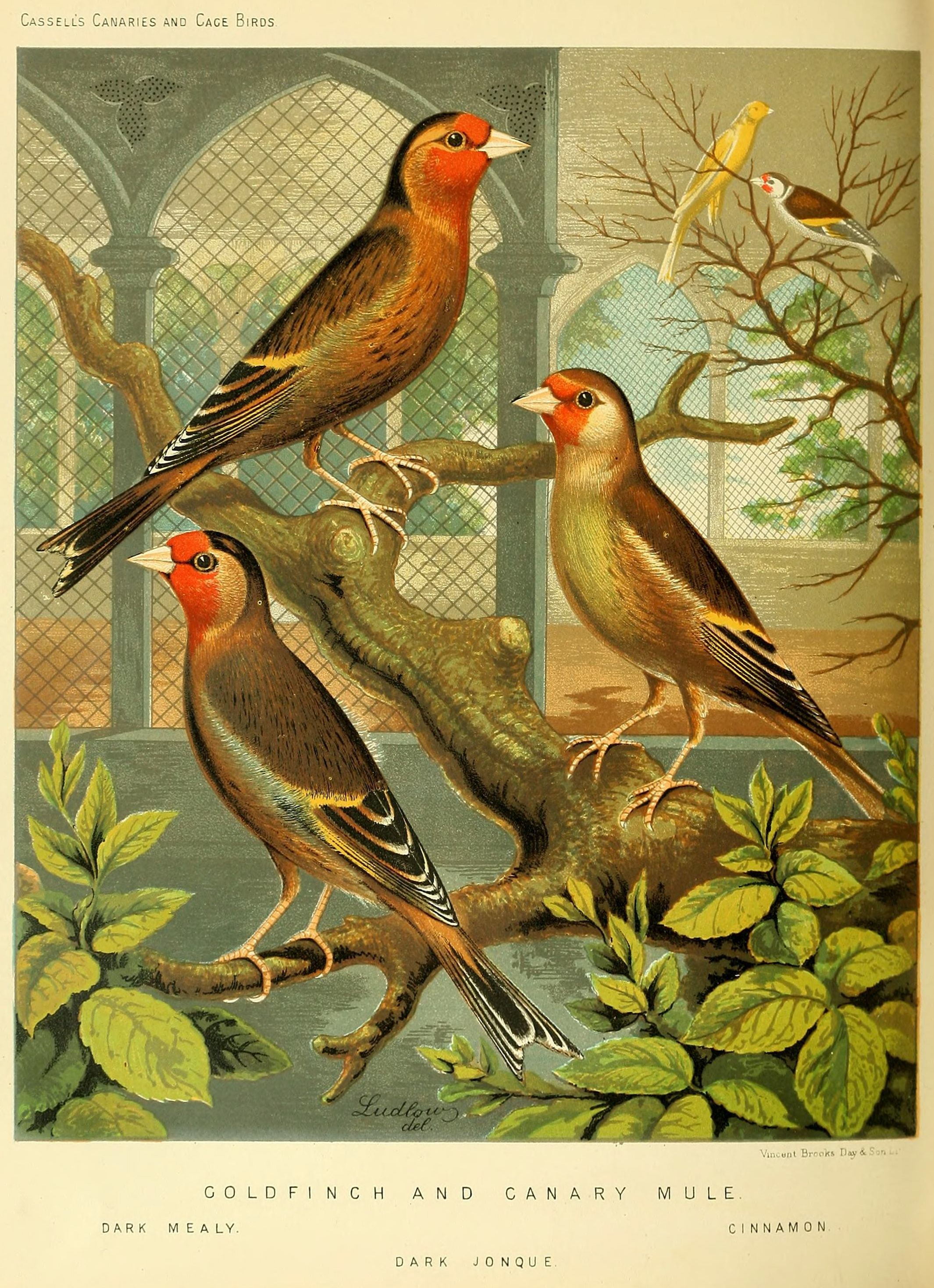 Illustration from Cassell\'s Canaries & Cage Birds (1884). Would make ...