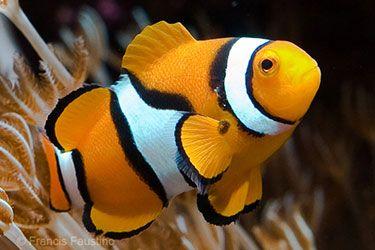 Clown fish...gotta have a Nemo fish!