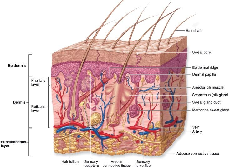Anatomy And Physiology Google Search Class Pinterest Diagram