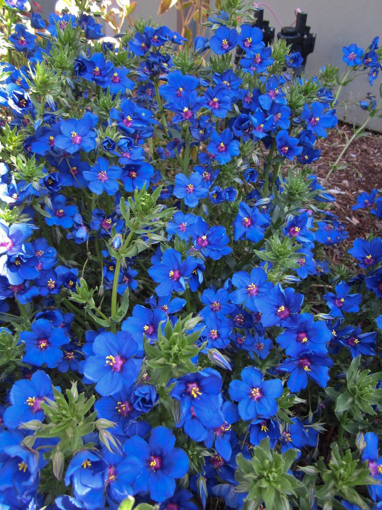 Anagallis monellii blue pimpernel flowers annuals sun anagallis monellii blue pimpernel izmirmasajfo