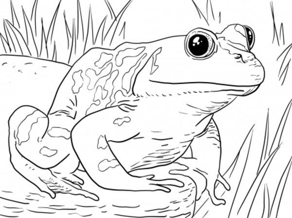 Frog Coloring Pages Picture 10 Free Animal Pictures Frog