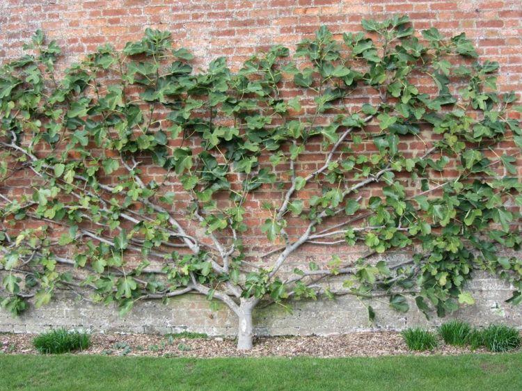 Spalierobst Im Garten Feige Pflanzen Backstein Mauer Sichtschutz Baumgarten Spalier Garten