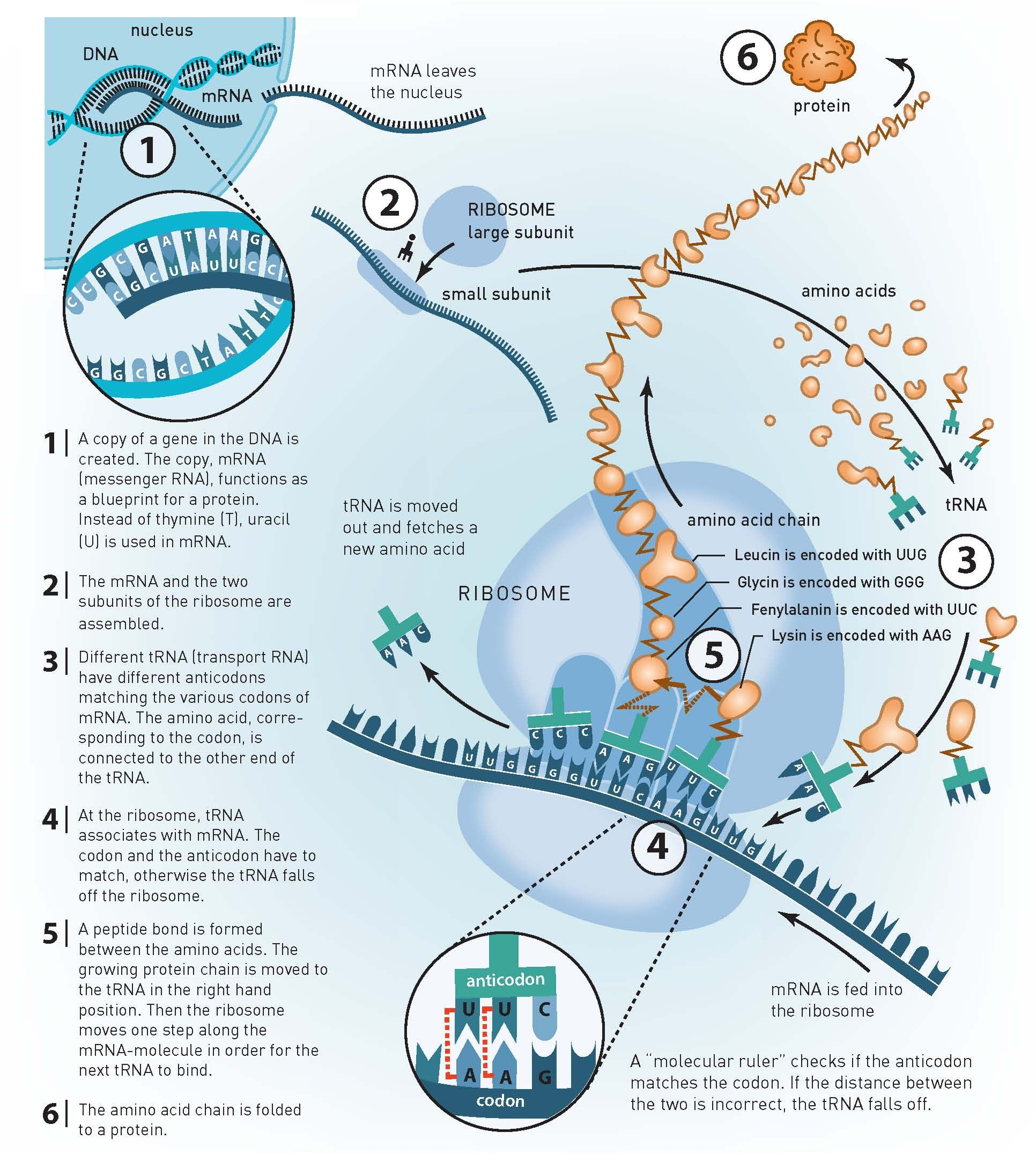 From Dna To Proteins One Of Life S Core Processes