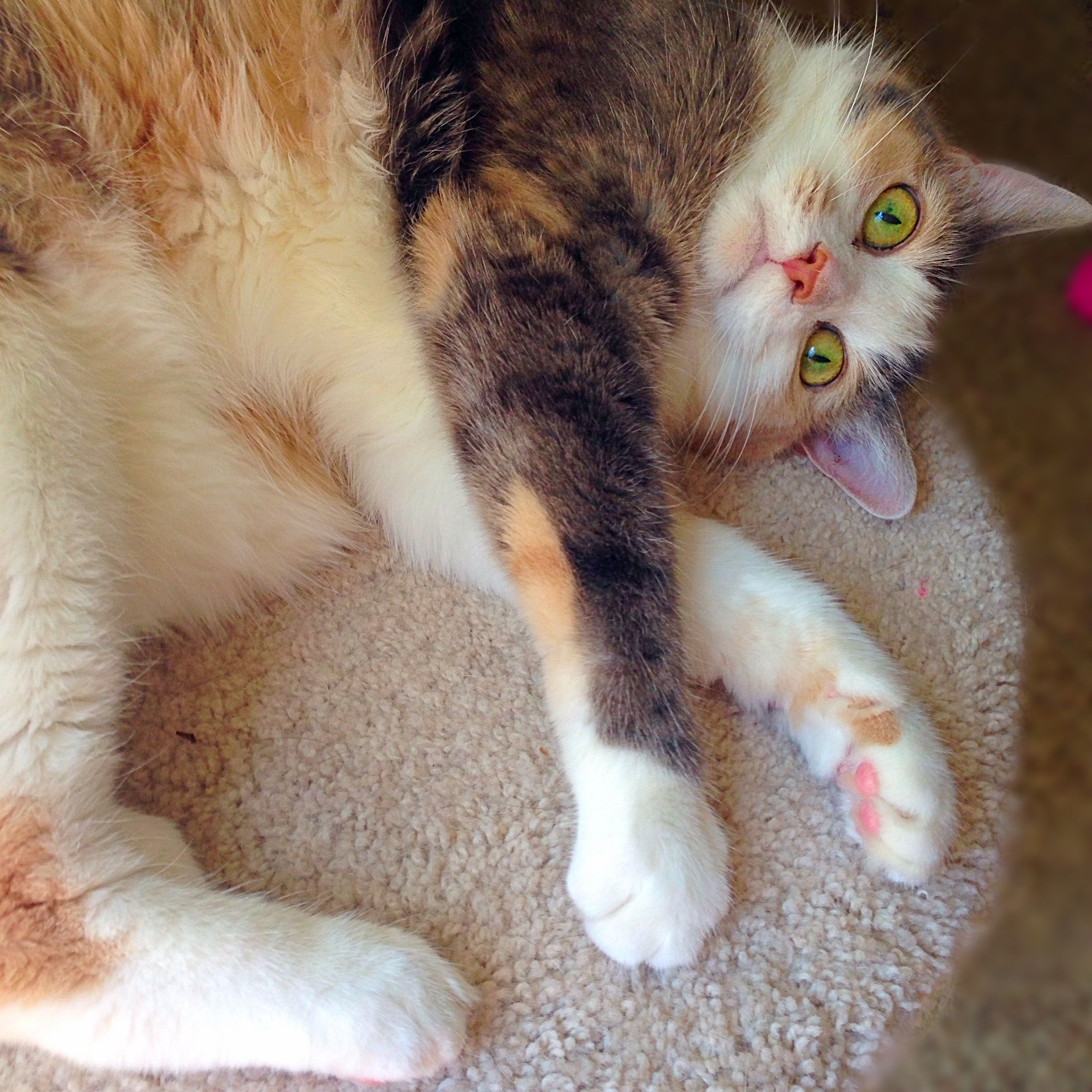 Beautiful Dilute Calico Cat Candy And Her Green Eyes Friscoluvscandy Calico Cat Cats Cat Candy