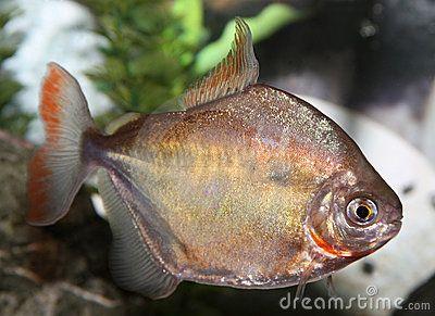 Silver Dollar Fish Stock Image Image 18803851 Fish