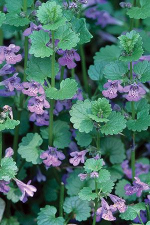 Ground Ivy Glechoma Hederacea Plants Seed Bank Biology Plants