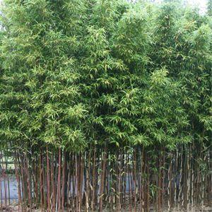 Temple Bamboo (Semiarundinaria fastuosa) just ordered from