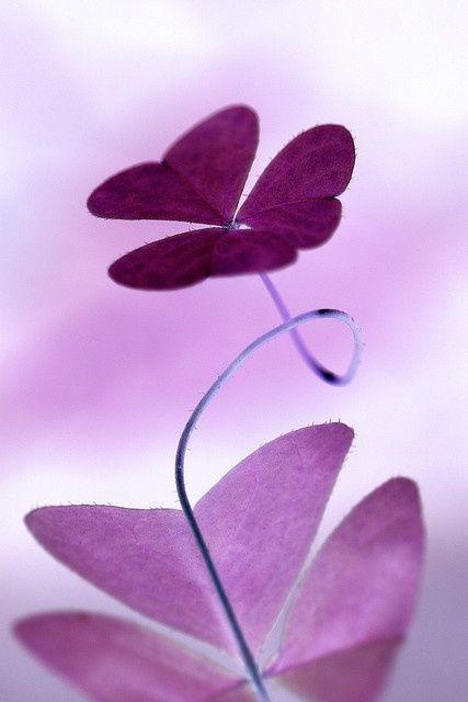 Purple clover...