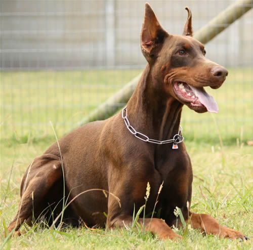 Fancy Doberman Vom Illerdamm Dobermanns Dobermann Breeders In