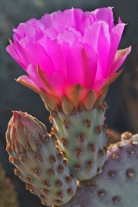 Beaver Tail Prickly Pear. Yes, they really are this color!