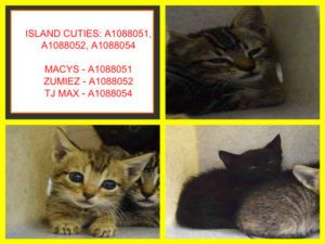 Island Cuties A1088051 A1088052 A1088054 Kitten Adoption