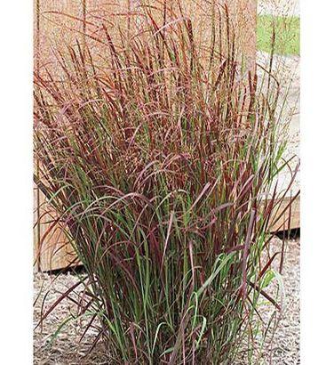 Panicum virgatum prairie fire second ornamental grass i for Ornamental prairie grass