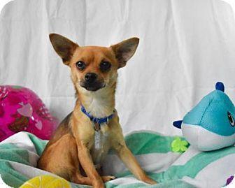 Tacoma Wa Chihuahua Mix Meet Autumn A Dog For Adoption Http