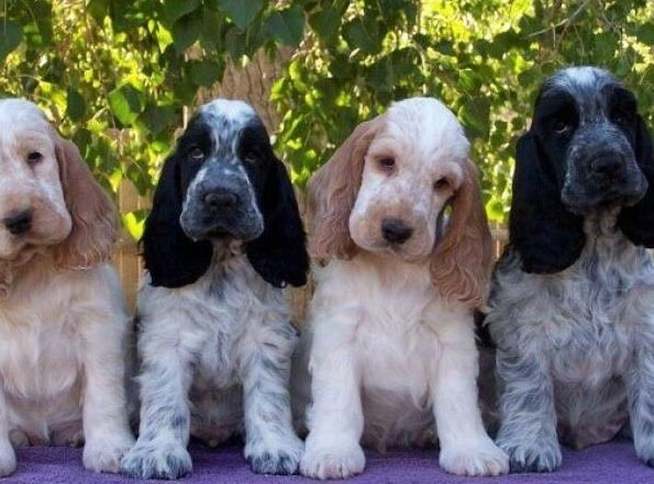 Wanted Cocker Spaniel Pup Dogs Puppies Gumtree Australia Upper Hunter Aberdeen 1114736447 Cocker Spaniel Puppies Dogs Spaniel Puppies