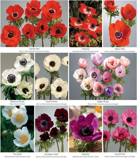 With Friends Like These Who Needs Anemones The Name For This Beautiful Flower Has Greek Origin Meaning Windf Anemone Flower Flower Close Up Flower Meanings