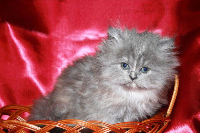 Doll Face Persian Breeders Beautiful Doll Faced Persians For