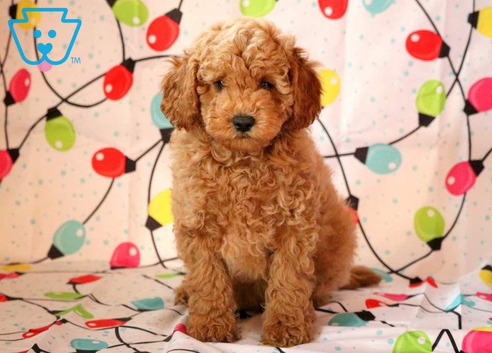 Cj Mini Puppies Poodle Mini Poodles