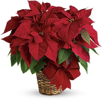 Symbolism Of The Poinsettia Christmas Flower Arrangements Christmas Flowers Holiday Flower