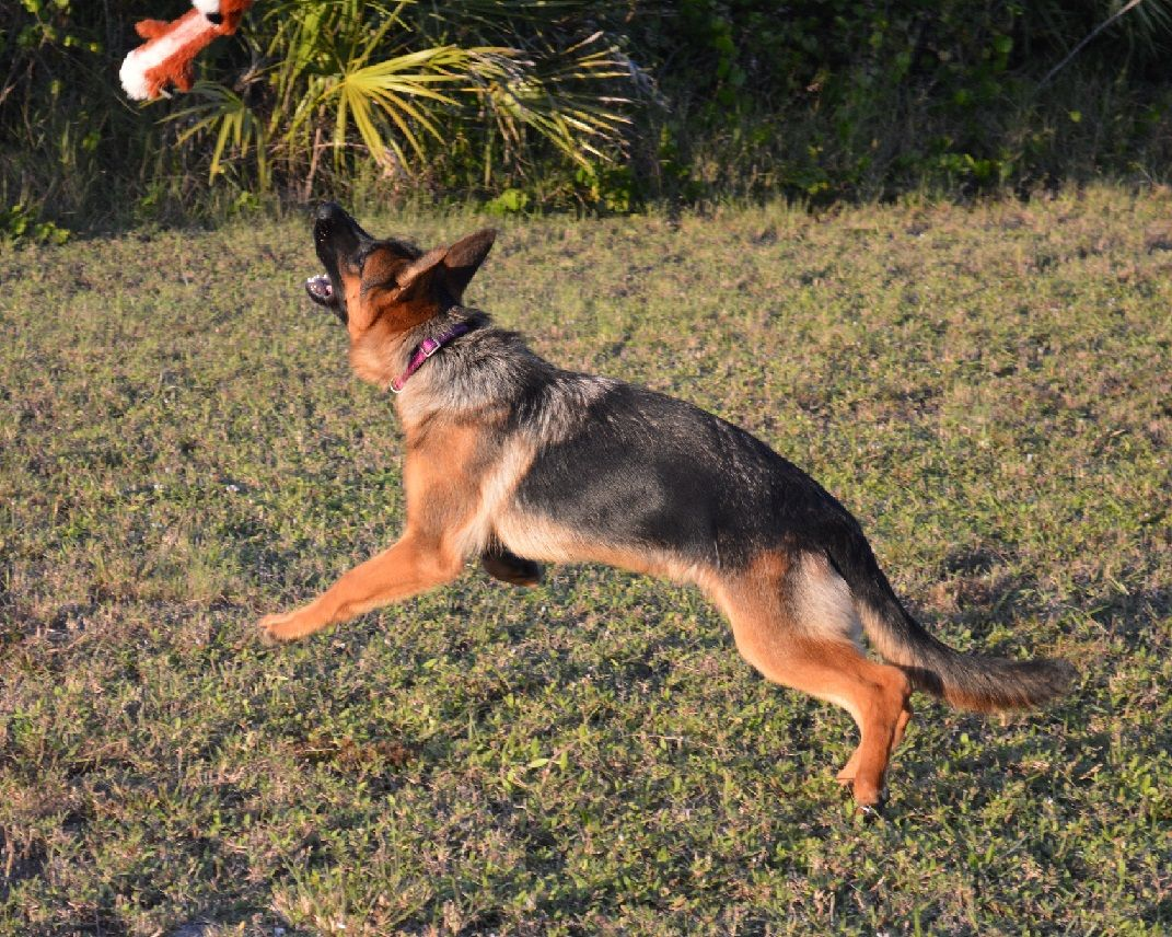 For Those Families That Have An Interest In Purchasing German Shepherd Puppies For Sale They German Shepherd Breeders German Shepherd Puppies Shepherd Puppies