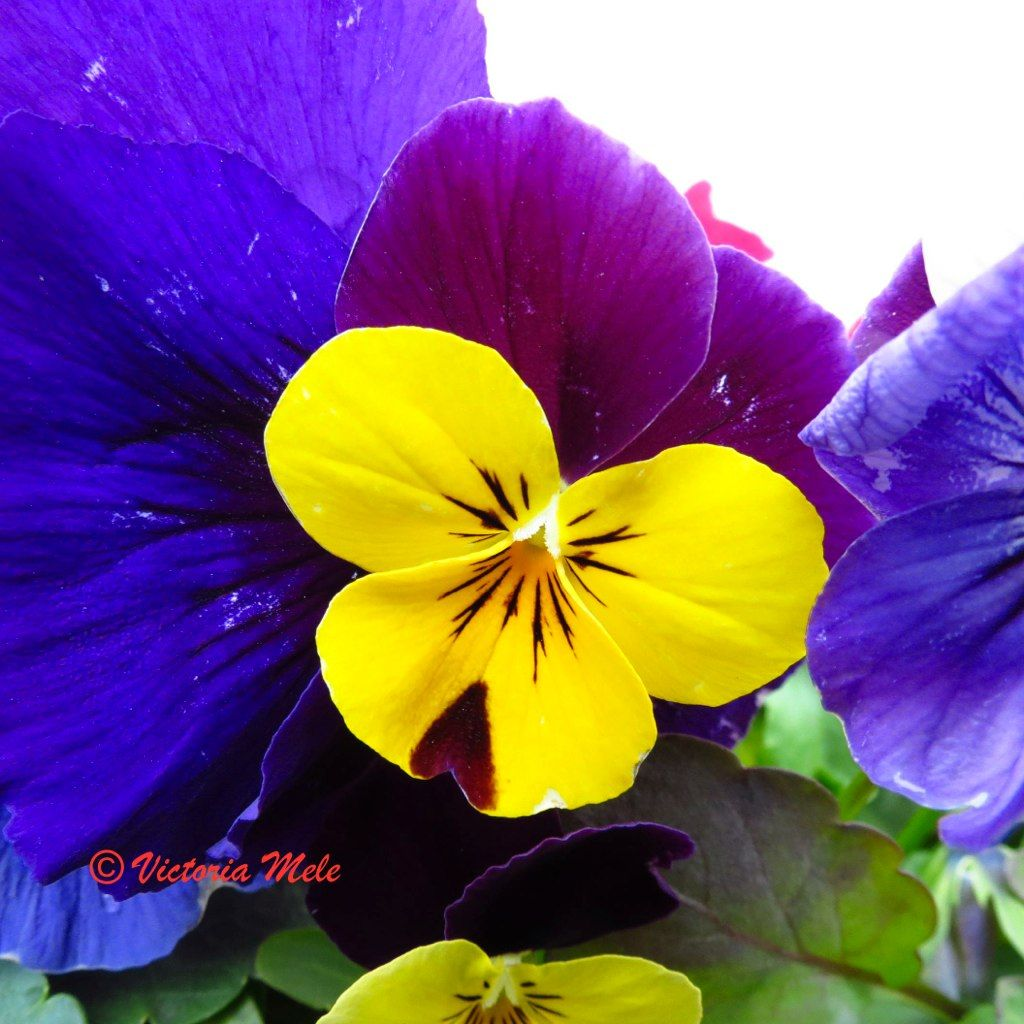 Pin By Karen Foucault On Pansy Jumping Jack More Pansy Pansies Language Of Flowers Flowers