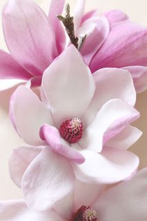 Magnolia Flowers Very Fragrent Magnolia Flower Flowers Small Pink Flowers