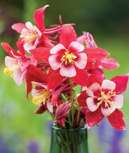 Columbine origami red white perennials a to z pinterest choose from our full list of flowers vines ferns grasses and shrubs to create your beautiful perennial garden mightylinksfo