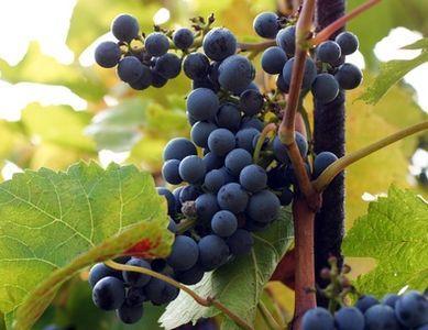 Wine Bag-Grapes on Trellis