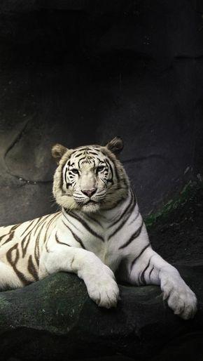 White Tiger Black Background Pet Tiger Tiger Wallpaper White Tiger