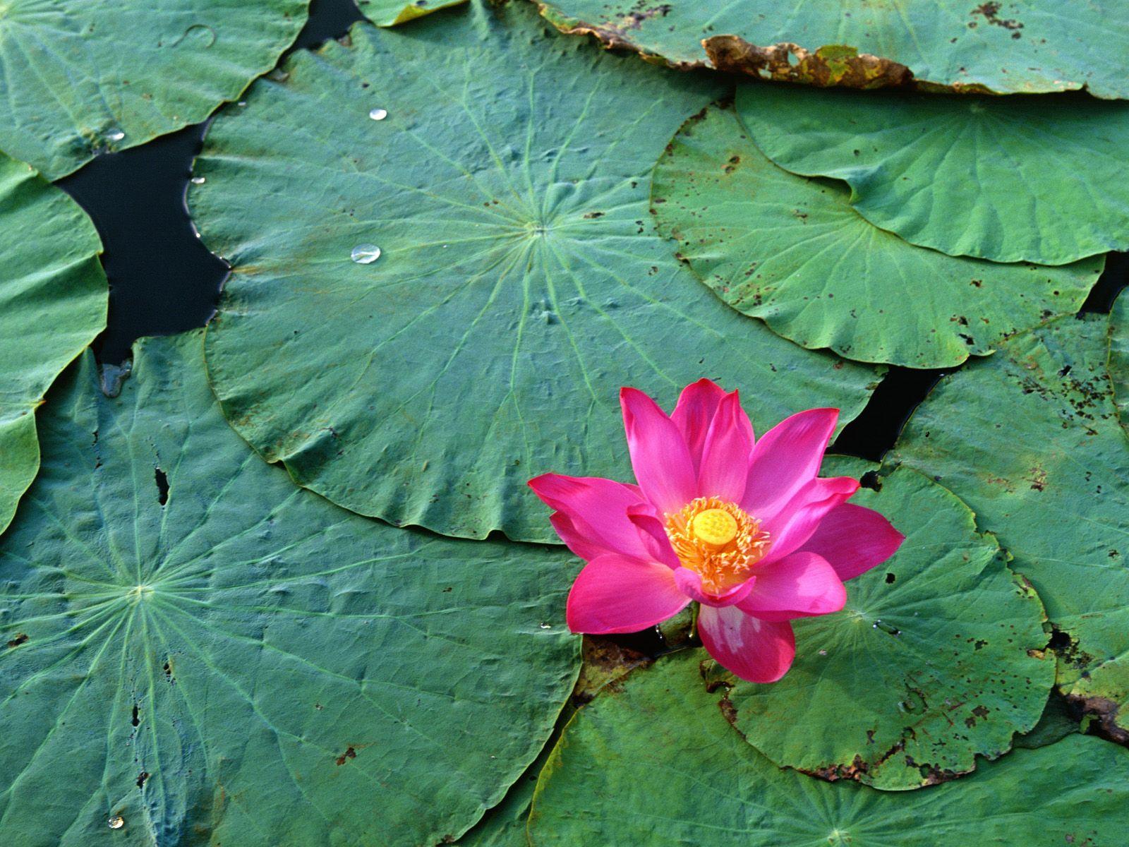 LOTUS.. 蓮の花, ピンク, 温泉