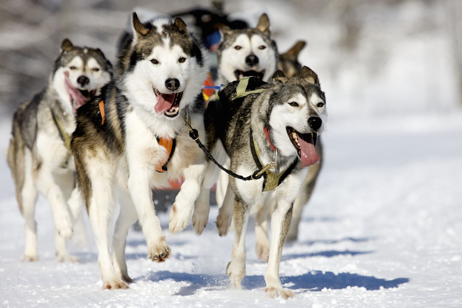 Siberian Huskies Take Advantage Of Ice Cold Weather For Run On