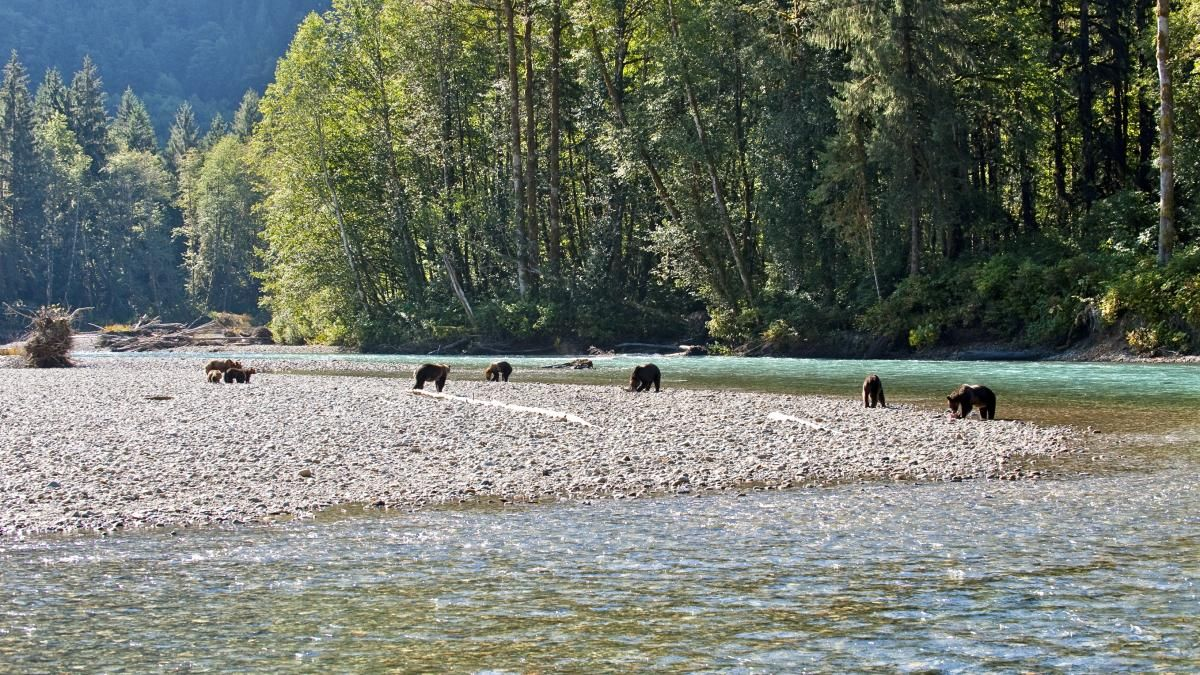 Bears Near Trinity River, Ca  Grizzly Bears At Orford River Near The  Region Of