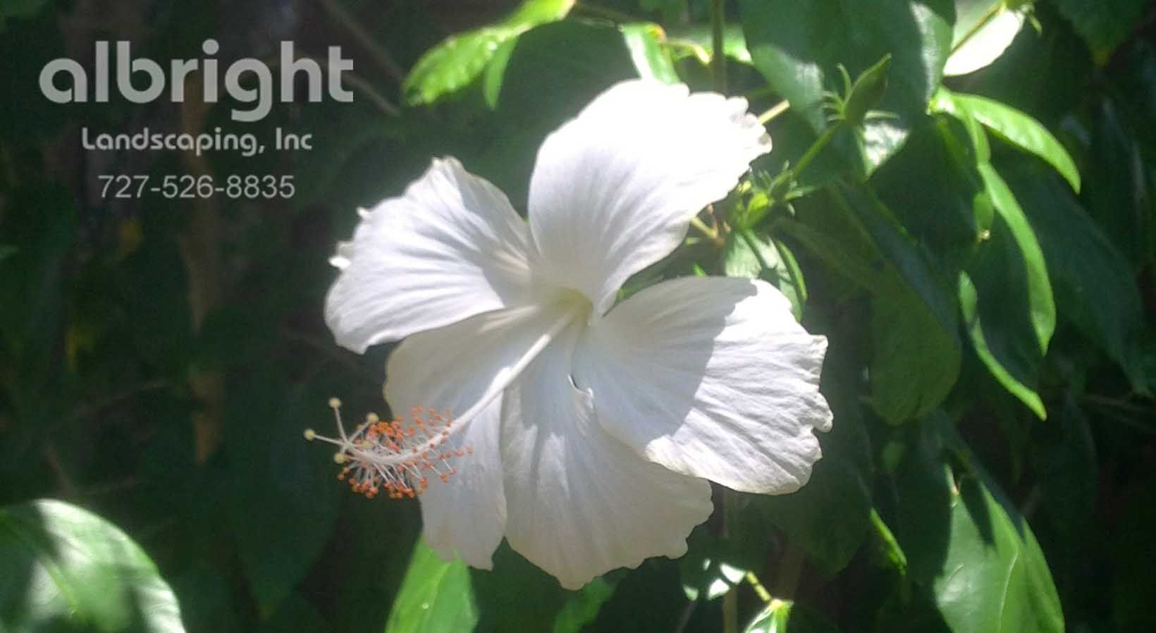 Weeping Hibiscus Tree White Tropical Flowers Moon Garden
