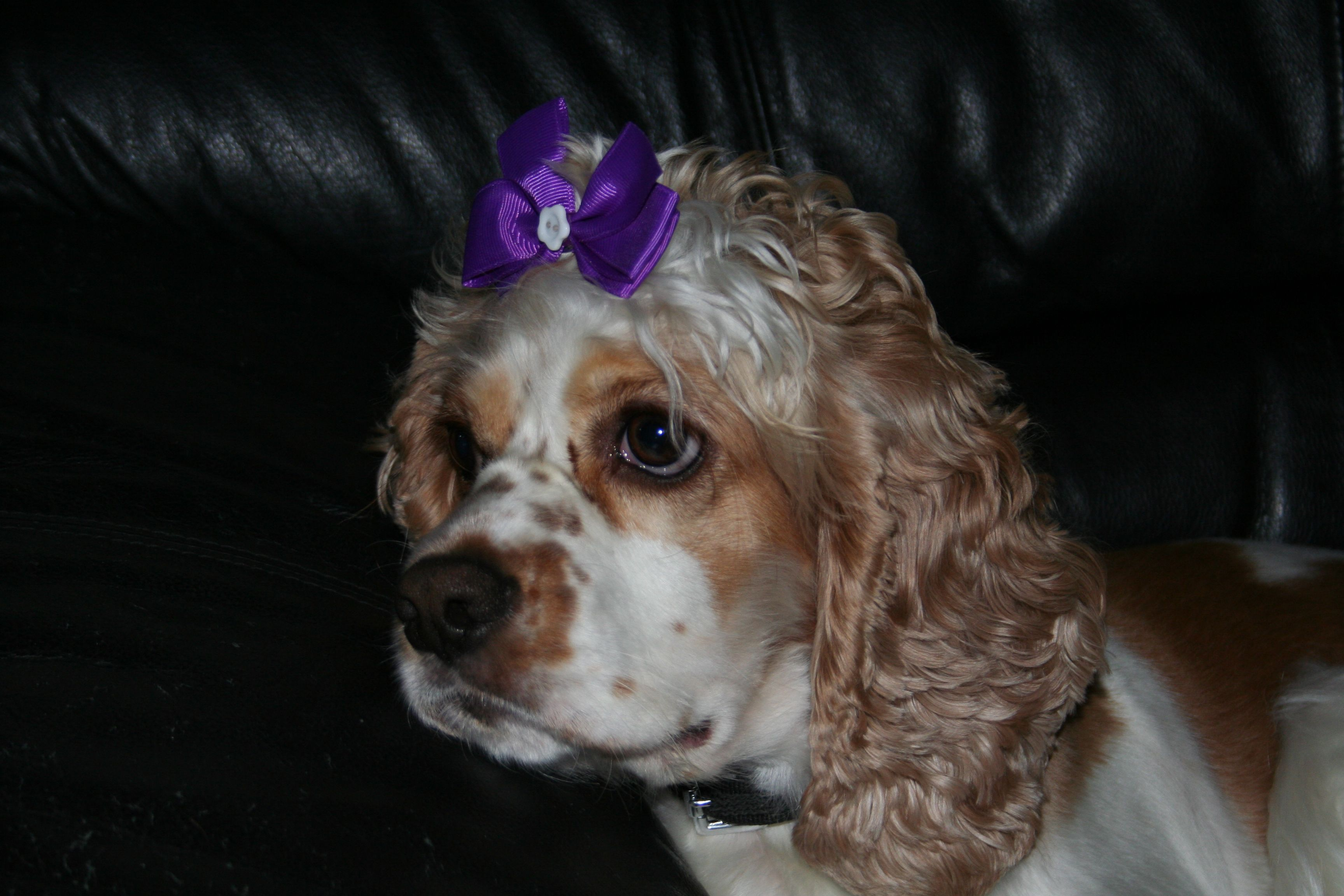 Jolene I Really Had No Intention Of Doing This To You She Nudged Me Until I Got Fed Up And Stuck Yorkie Poo American Cocker Spaniel Cocker Spaniel