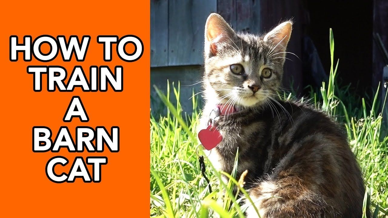 How To Train A Barn Cat Youtube In 2020 Cats Cat Training Pets Cats