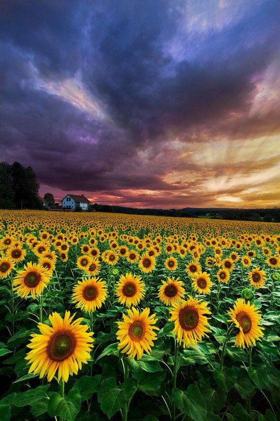 Stormy Sunrise | Beautiful landscape wallpaper, Sunflower ...