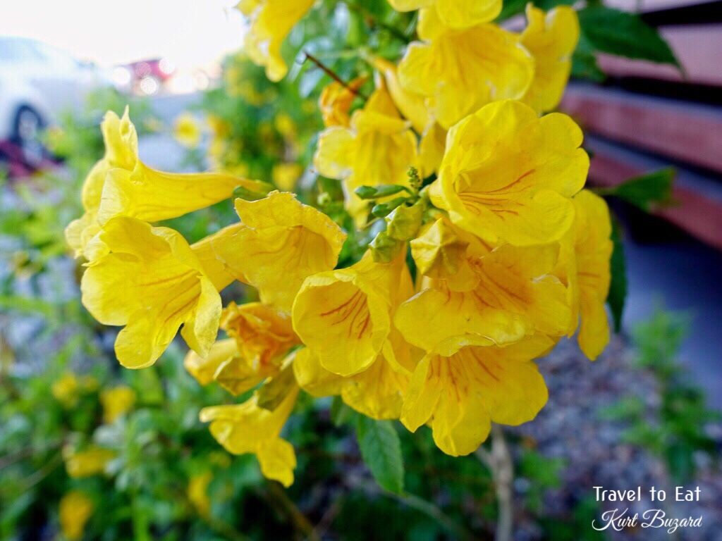 Yellow bells tecoma stans las vegas nevada plants flowers spring landscapes in las vegas travel to eat dhlflorist Images