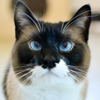 Meet Neeko A Petfinder Adoptable Snowshoe Cat San Francisco Ca