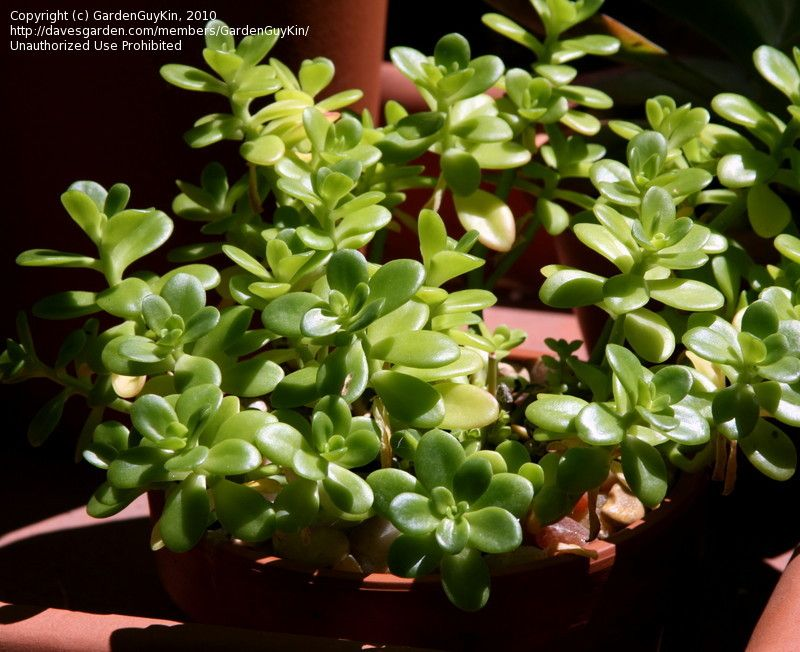 Sedum confusum succulent nice ground cover plant fast for Succulents that do well in shade