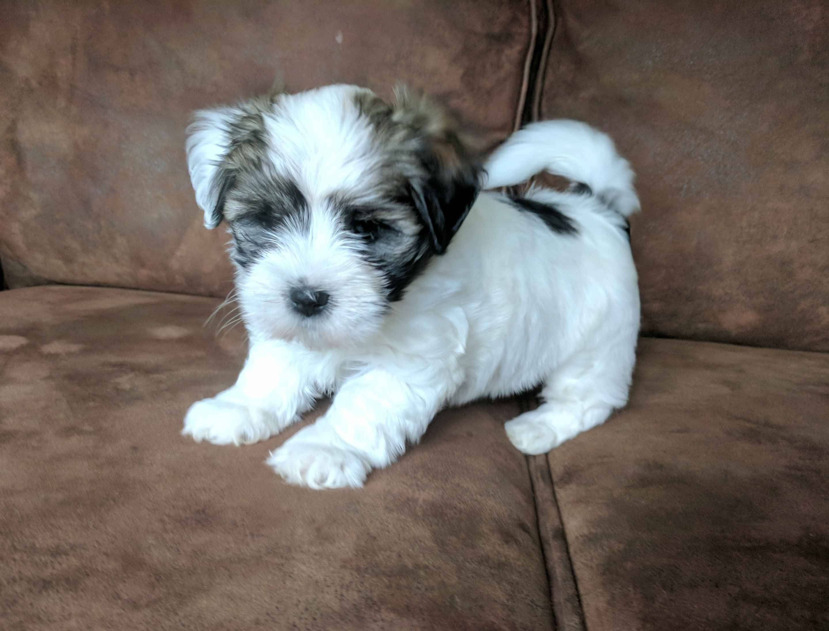 Sheila Martin Has Havanese Puppies For Sale In Ephrata Pa On Akc